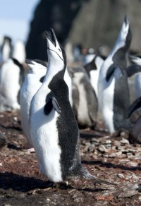 1_1204254540_mating-call---chinstrap-penguin.jpg