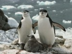 chinstrap_penguin_parents_and_chicks_antarctica.jpg