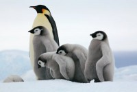a8-antarctica-emperor-penguins-chicks-curious.jpg