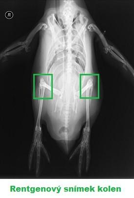 Rentgenový snímek kolen tučňáka